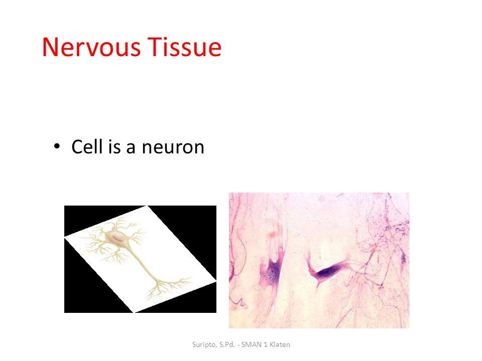 Nervous Tissue Cell is a neuron Suripto, S.Pd. - SMAN 1 Klaten