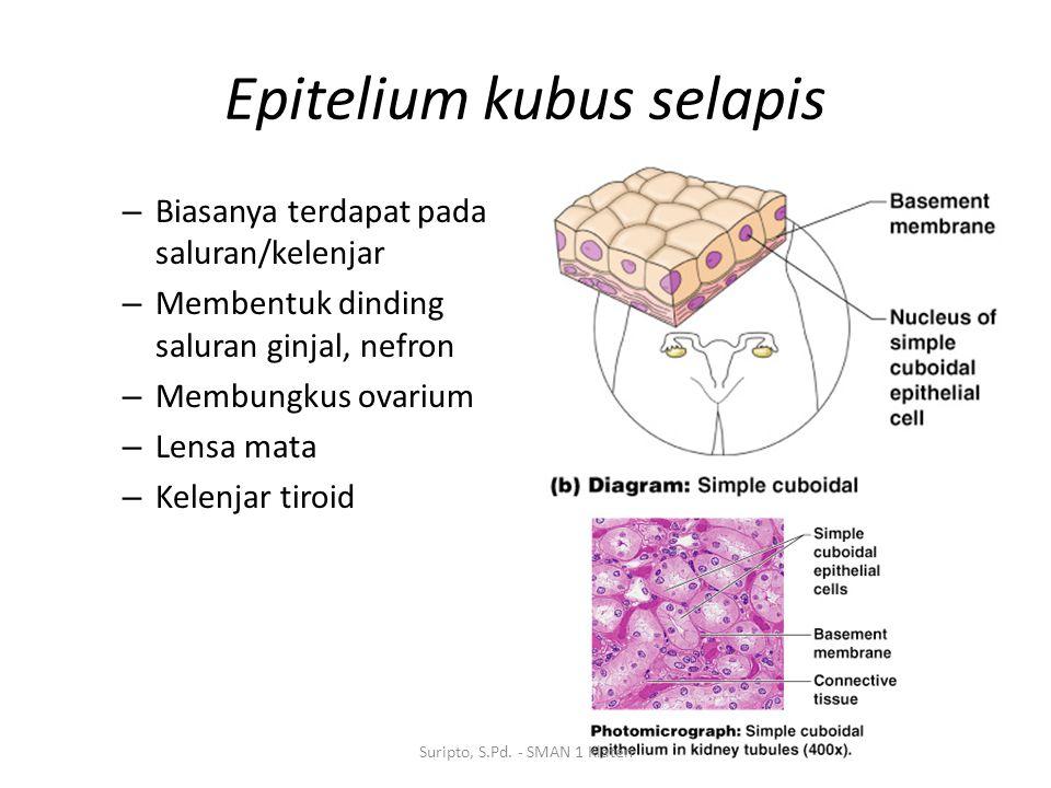 Epitelium kubus selapis – Biasanya terdapat pada saluran/kelenjar – Membentuk dinding saluran ginjal, nefron – Membungkus ovarium – Lensa mata – Kelen