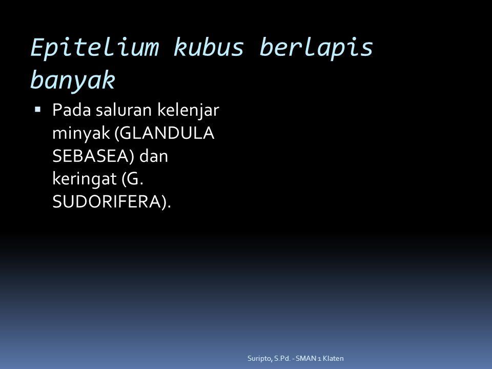 Epitelium kubus berlapis banyak  Pada saluran kelenjar minyak (GLANDULA SEBASEA) dan keringat (G. SUDORIFERA). Suripto, S.Pd. - SMAN 1 Klaten