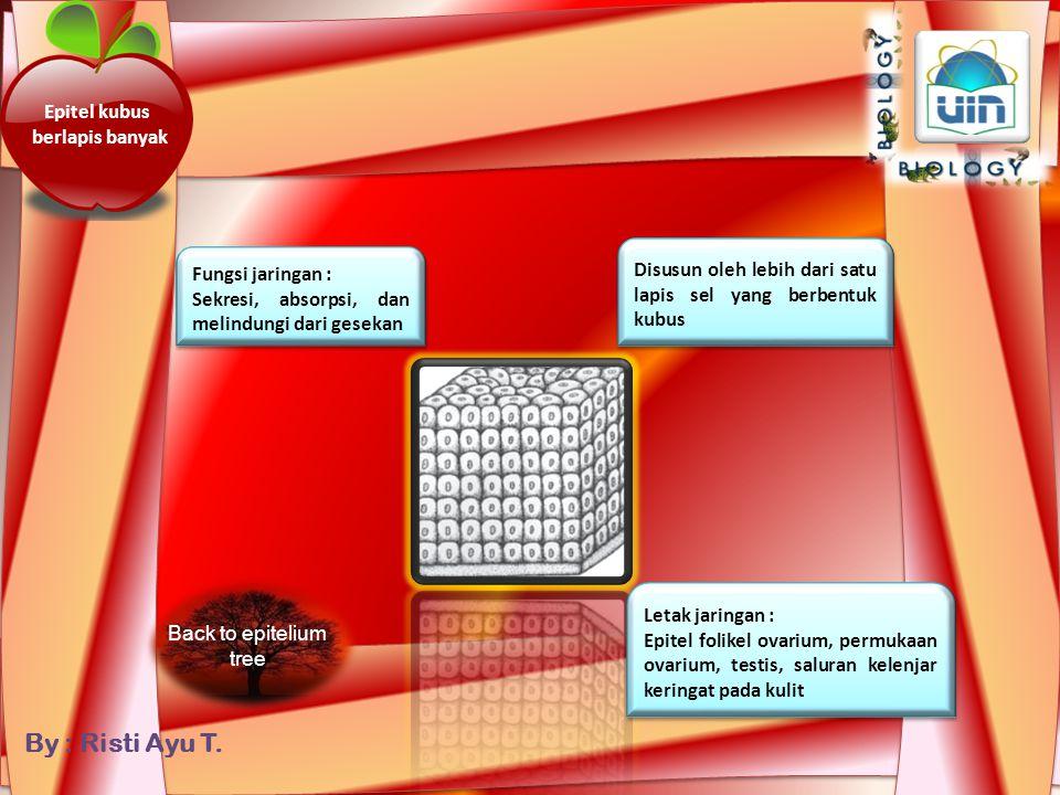 By : Risti Ayu T. Epitel kubus selapis Disusun oleh selapis sel yang berbentuk kubus Fungsi jaringan : Sekresi dan jaringan pelindung Fungsi jaringan