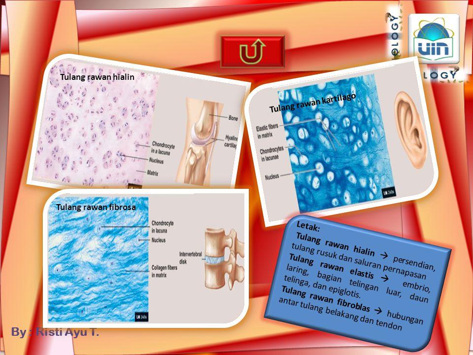 By : Risti Ayu T. Pembagian jaringan tulang Rawan berdasarkan kandungan senyawa matriks Istilah dan pembagian jaringan tulang sejati berdasarkan struk