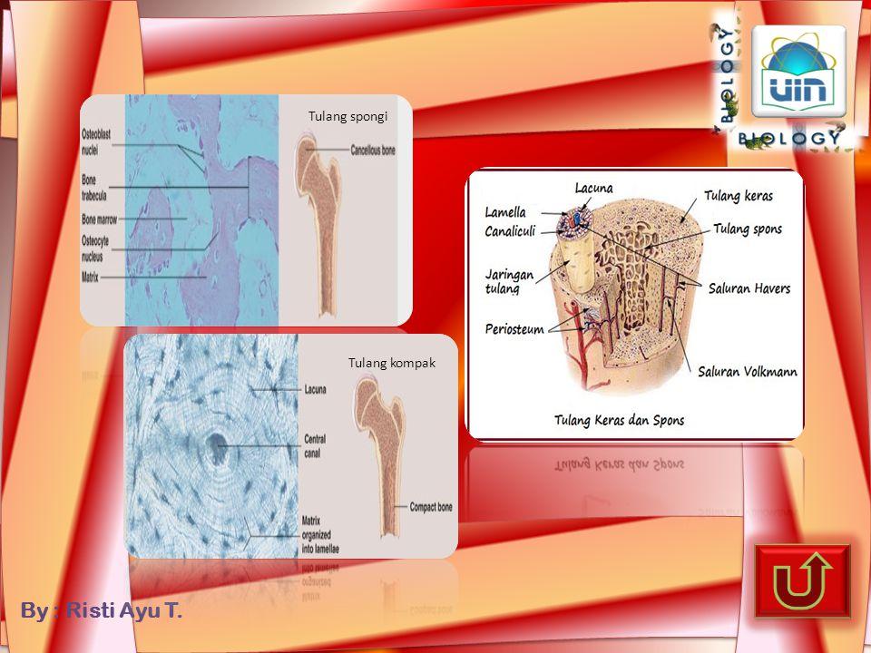 By : Risti Ayu T. Tulang rawan hialin Tulang rawan kartilago Tulang rawan fibrosa