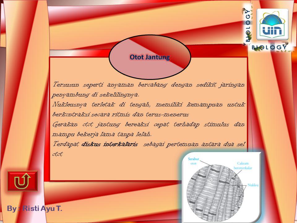 By : Risti Ayu T. Berbentuk seperti gelendong dengan nukleus tunggal yang terletak di tengah Otot rangka memiliki nukleus lebih dari satu yang terleta