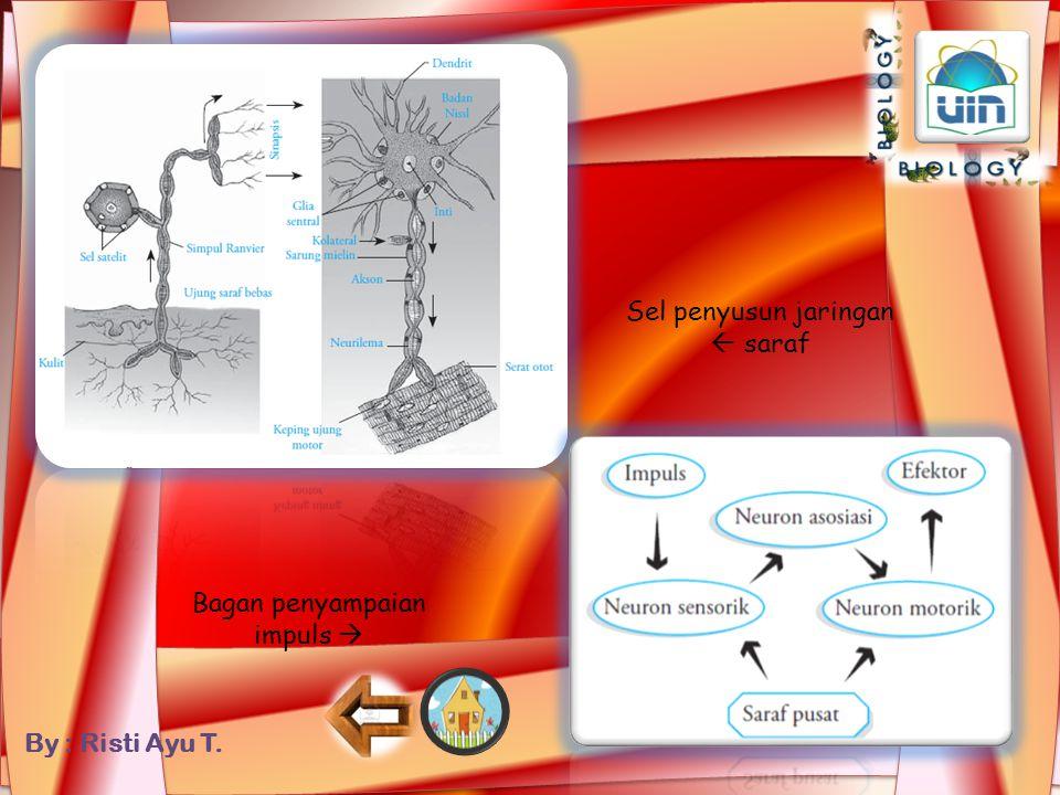 By : Risti Ayu T. Sinapsis  Bagian yang menghubungkan antara akson suatu neuron dengan dendrit neuron lainnya. Sel Schwann  Selaput pembungkus akson
