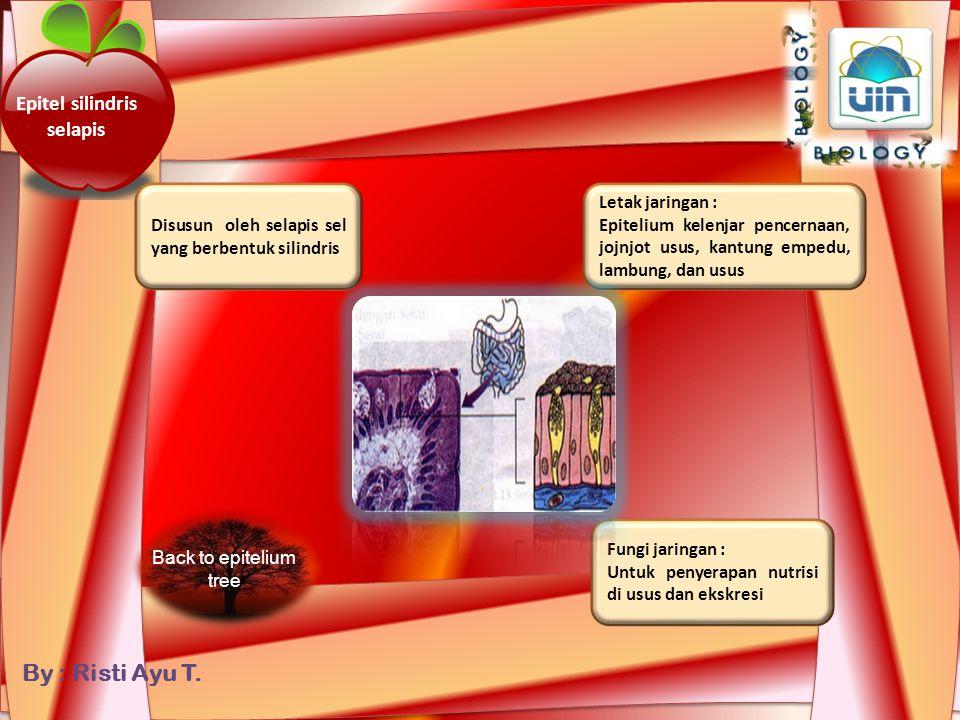 By : Risti Ayu T. Epitel silindris berlapis banyak Disusun oleh lebih dari satu lapis sel berbentuk silindris Fungsi jaringan : Sekresi dan jaringan p