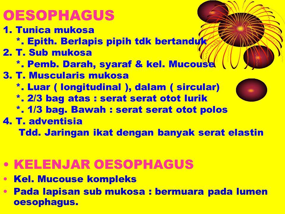 OESOPHAGUS 1. Tunica mukosa *. Epith. Berlapis pipih tdk bertanduk 2. T. Sub mukosa *. Pemb. Darah, syaraf & kel. Mucouse 3. T. Muscularis mukosa *. L