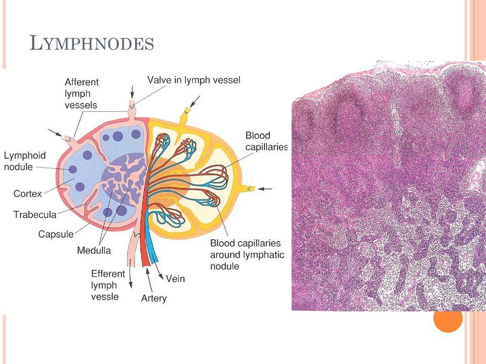 L YMPHNODES