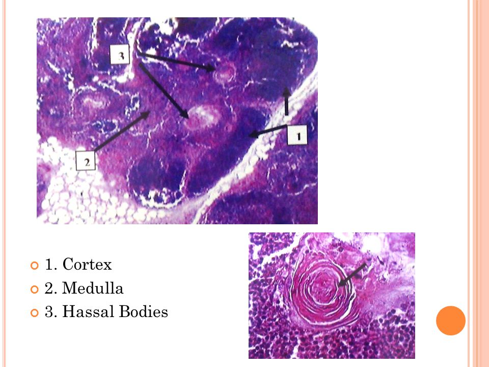1. Cortex 2. Medulla 3. Hassal Bodies