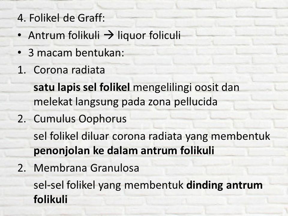 4. Folikel de Graff: Antrum folikuli  liquor foliculi 3 macam bentukan: 1.Corona radiata satu lapis sel folikel mengelilingi oosit dan melekat langsu