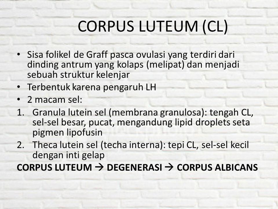 CORPUS LUTEUM (CL) Sisa folikel de Graff pasca ovulasi yang terdiri dari dinding antrum yang kolaps (melipat) dan menjadi sebuah struktur kelenjar Ter