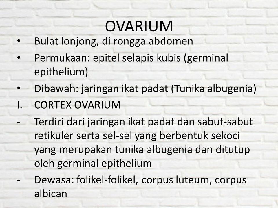 OVARIUM Bulat lonjong, di rongga abdomen Permukaan: epitel selapis kubis (germinal epithelium) Dibawah: jaringan ikat padat (Tunika albugenia) I.CORTE