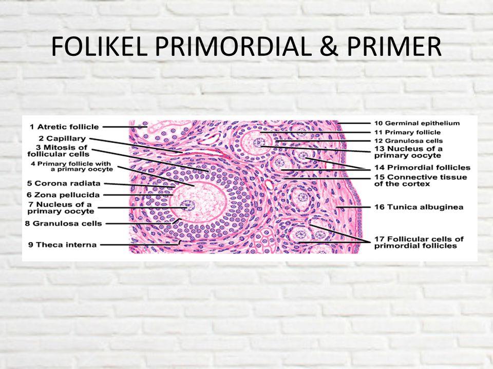 FOLIKEL PRIMORDIAL & PRIMER