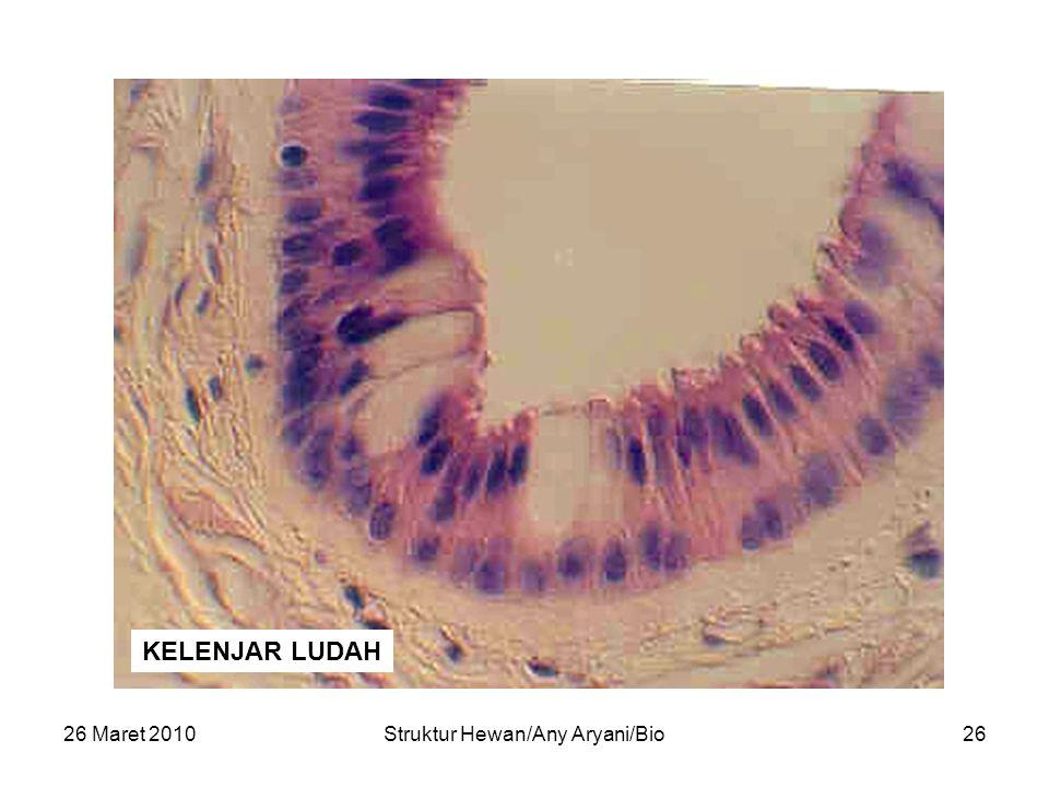 26 Maret 2010Struktur Hewan/Any Aryani/Bio27 (Mucous gland duct tongue)