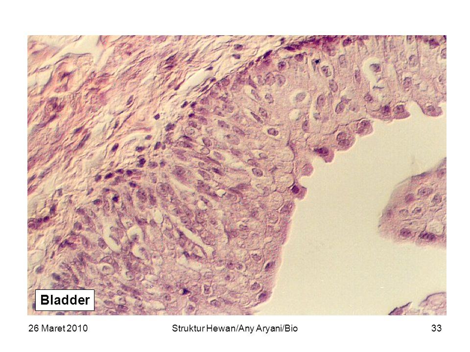 26 Maret 2010Struktur Hewan/Any Aryani/Bio34 Bladder