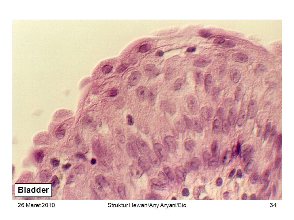 26 Maret 2010Struktur Hewan/Any Aryani/Bio35 Transitional epithelium of the urinary bladder.