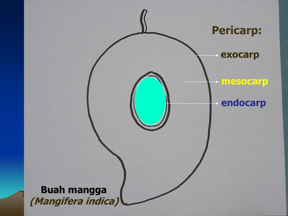 exocarp mesocarp endocarp Buah mangga (Mangifera indica) Pericarp:
