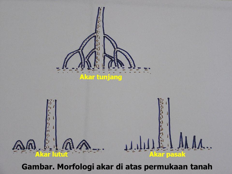 Akar tunjang Akar lututAkar pasak Gambar. Morfologi akar di atas permukaan tanah