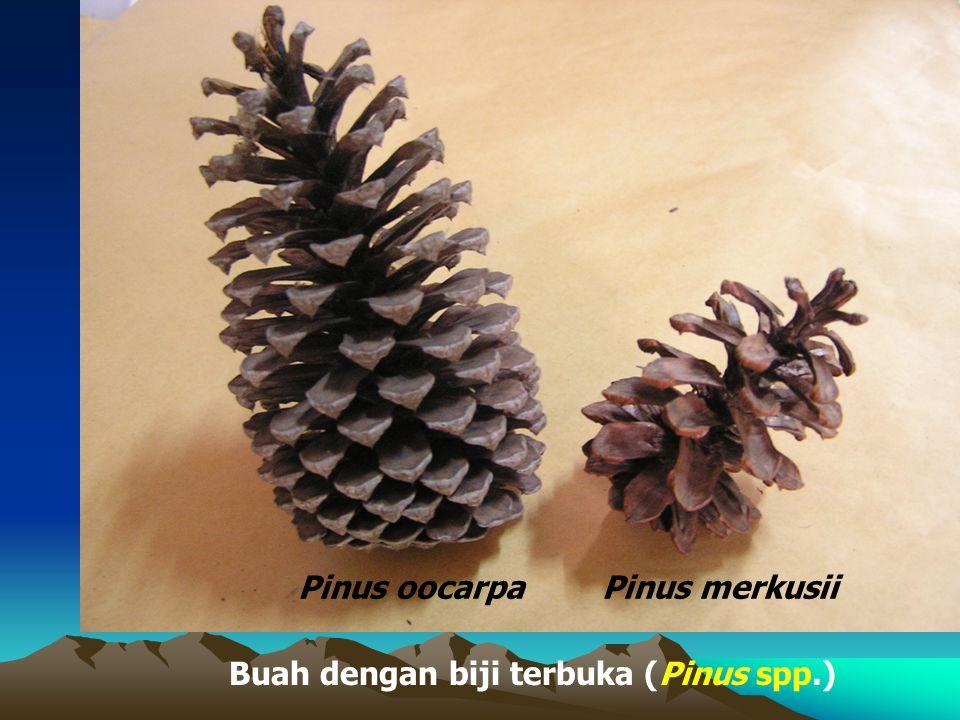 Buah dengan biji terbuka (Pinus spp.) Pinus merkusiiPinus oocarpa