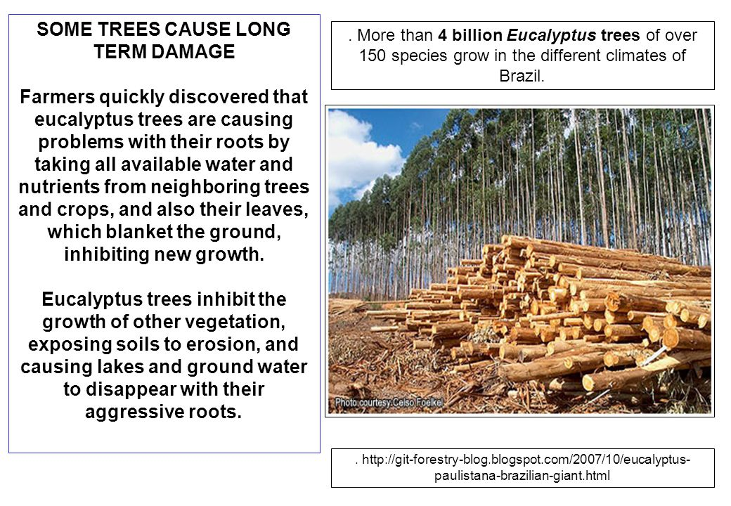 SOME TREES CAUSE LONG TERM DAMAGE Farmers quickly discovered that eucalyptus trees are causing problems with their roots by taking all available water and nutrients from neighboring trees and crops, and also their leaves, which blanket the ground, inhibiting new growth.