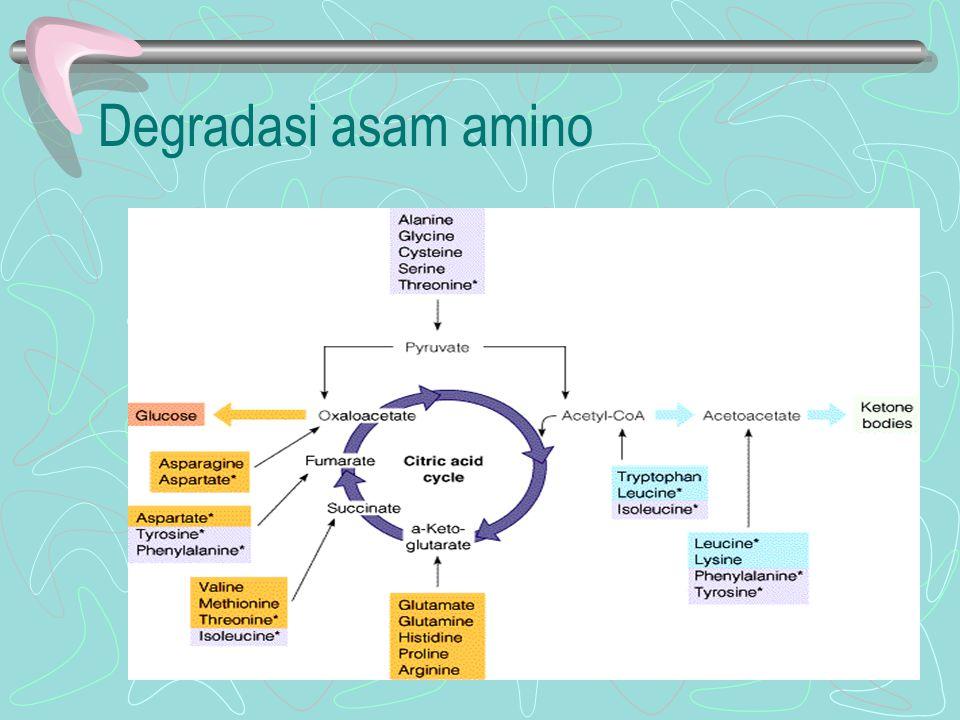 Hubungan katabolisme protein dengan TCA Metabolisme Ser, Gly, Thr –Dikatalisis oleh enzim Serine threonine dehydratase