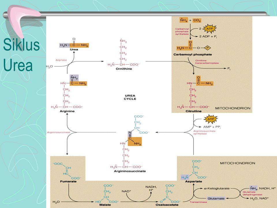 Biosintesis asam amino Asam amino yang masuk lewat seny.