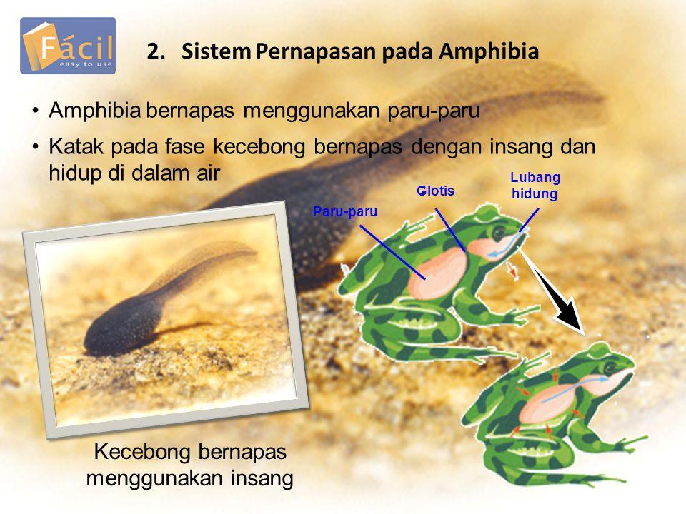2.Sistem Pernapasan pada Amphibia Amphibia bernapas menggunakan paru-paru Katak pada fase kecebong bernapas dengan insang dan hidup di dalam air Kecebong bernapas menggunakan insang Paru-paru Glotis Lubang hidung