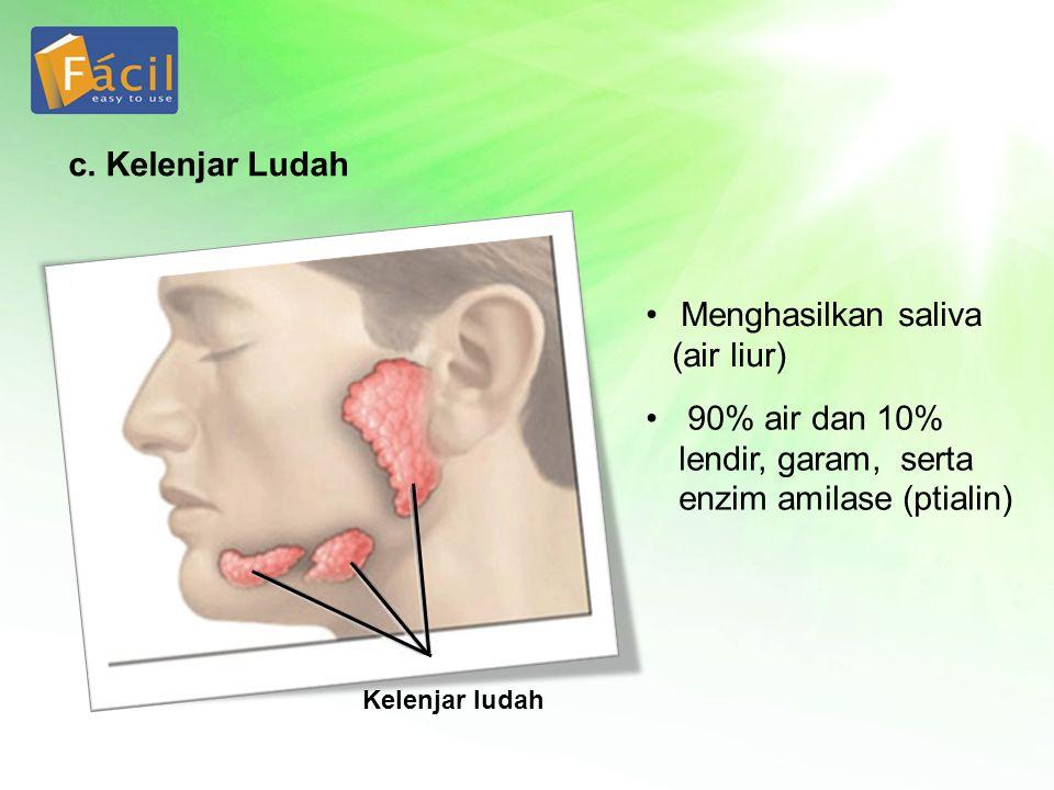 Menghasilkan saliva (air liur) 90% air dan 10% lendir, garam, serta enzim amilase (ptialin) c. Kelenjar Ludah Kelenjar ludah