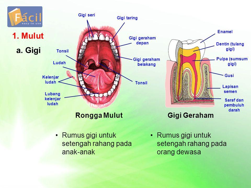 1. Mulut a. Gigi Rongga Mulut Rumus gigi untuk setengah rahang pada anak-anak Rumus gigi untuk setengah rahang pada orang dewasa Gigi Geraham Gigi ser
