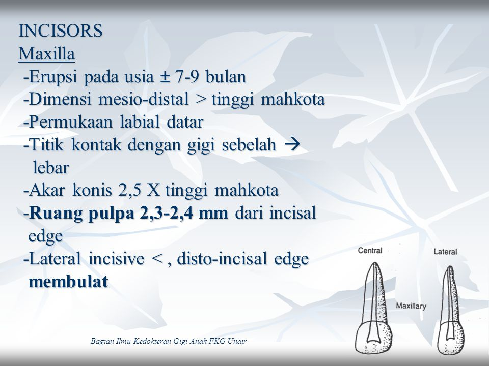 INCISORS Maxilla -Erupsi pada usia ± 7-9 bulan -Dimensi mesio-distal > tinggi mahkota -Permukaan labial datar -Titik kontak dengan gigi sebelah  leba