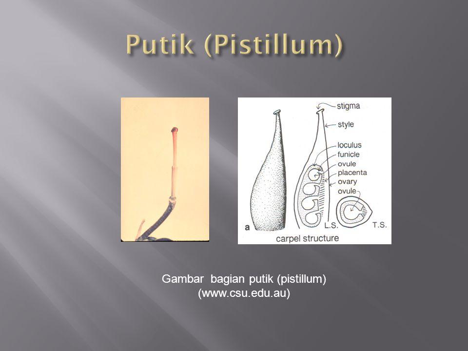 Gambar bagian putik (pistillum) (www.csu.edu.au)