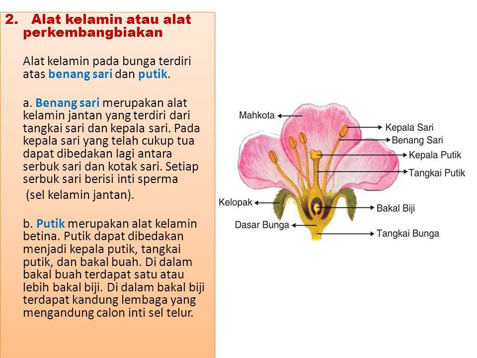 2. Alat kelamin atau alat perkembangbiakan Alat kelamin pada bunga terdiri atas benang sari dan putik. a. Benang sari merupakan alat kelamin jantan ya
