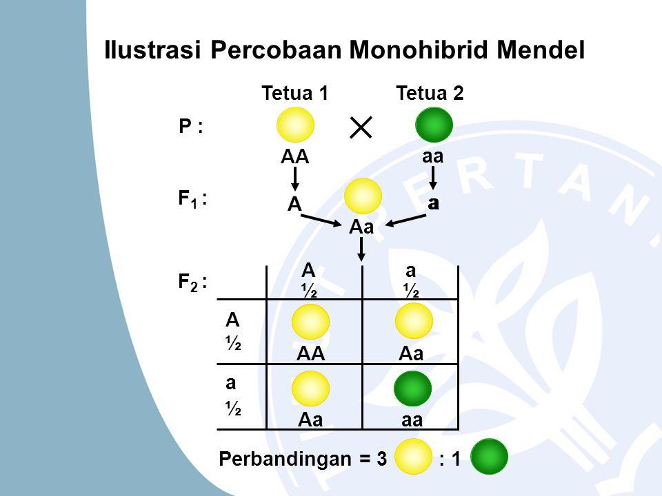 Ilustrasi Percobaan Monohibrid Mendel A A a ½ ½ ½ a ½ AA Aa aa Tetua 1Tetua 2 A AA a aa A a Aa P : F 1 : F 2 : Perbandingan = 3 : 1