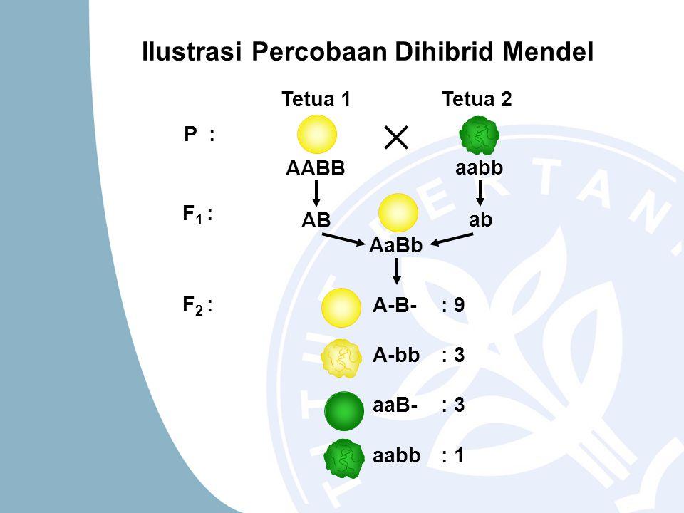 ab AB Tetua 1Tetua 2 AABB aabb AaBb P : F 1 : F 2 : A-B-: 9 A-bb: 3 aaB-: 3 aabb: 1 Ilustrasi Percobaan Dihibrid Mendel