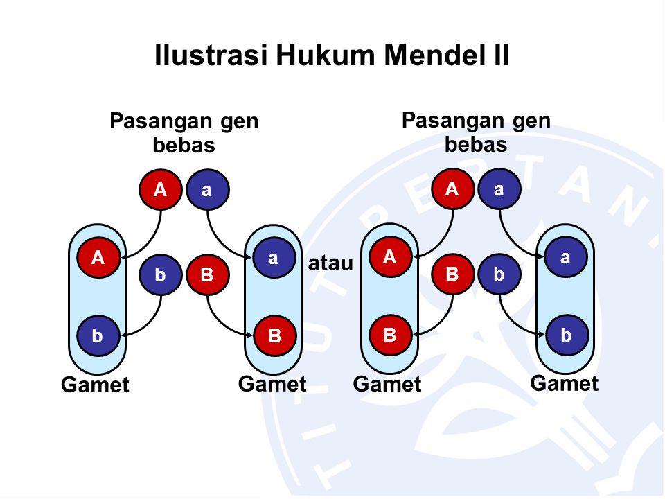 Ilustrasi Hukum Mendel II Gamet Pasangan gen bebas Bb Aa atau Bb Aa Gamet Pasangan gen bebas bB Aa bB Aa