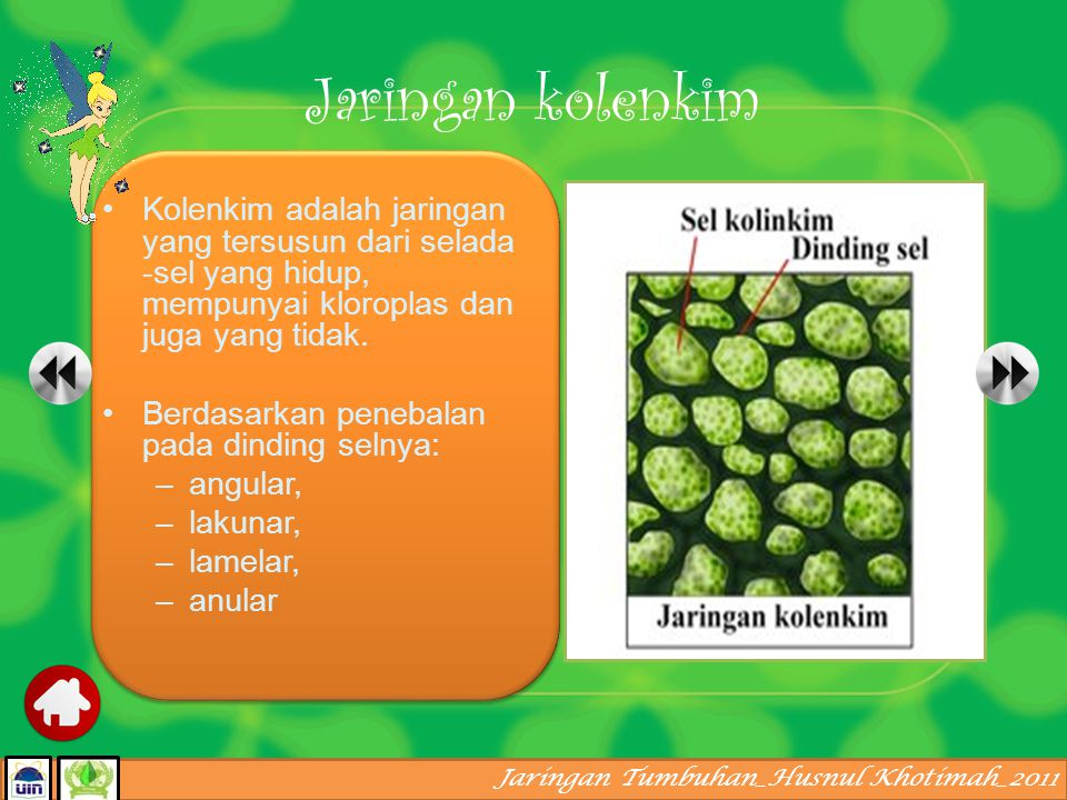 Jaringan Tumbuhan_Husnul Khotimah_2011 Berdinding tebal, mengandung lignin, zat-zat tersebut bersifat keras. Jaringan penyokong terdiri dari jaringan