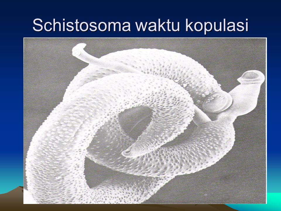 Schistosoma waktu kopulasi