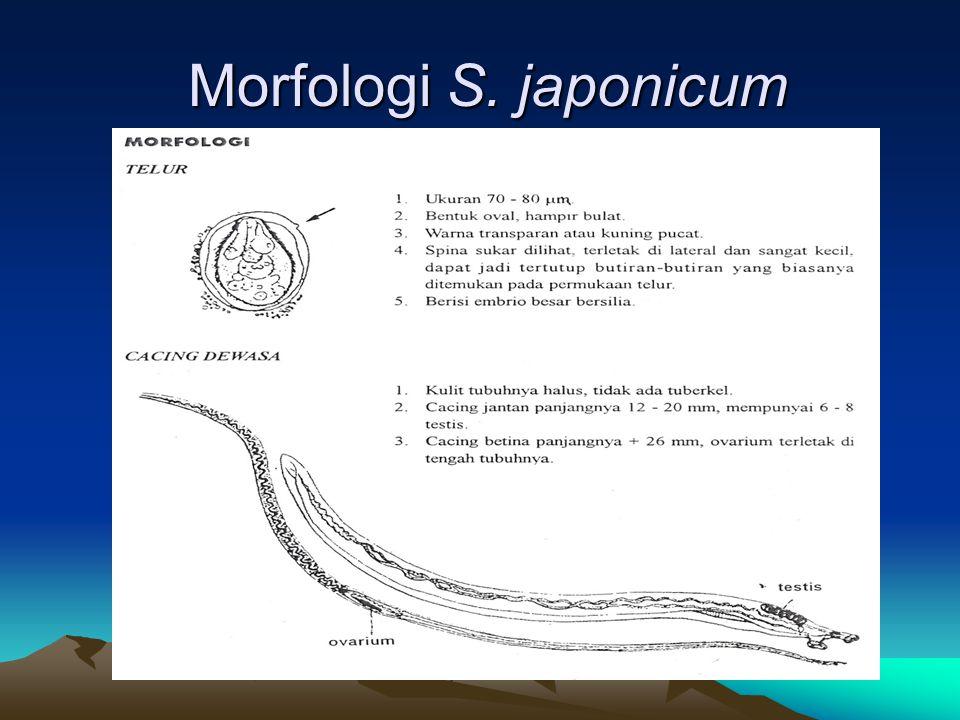 Morfologi S. japonicum Morfologi S. japonicum