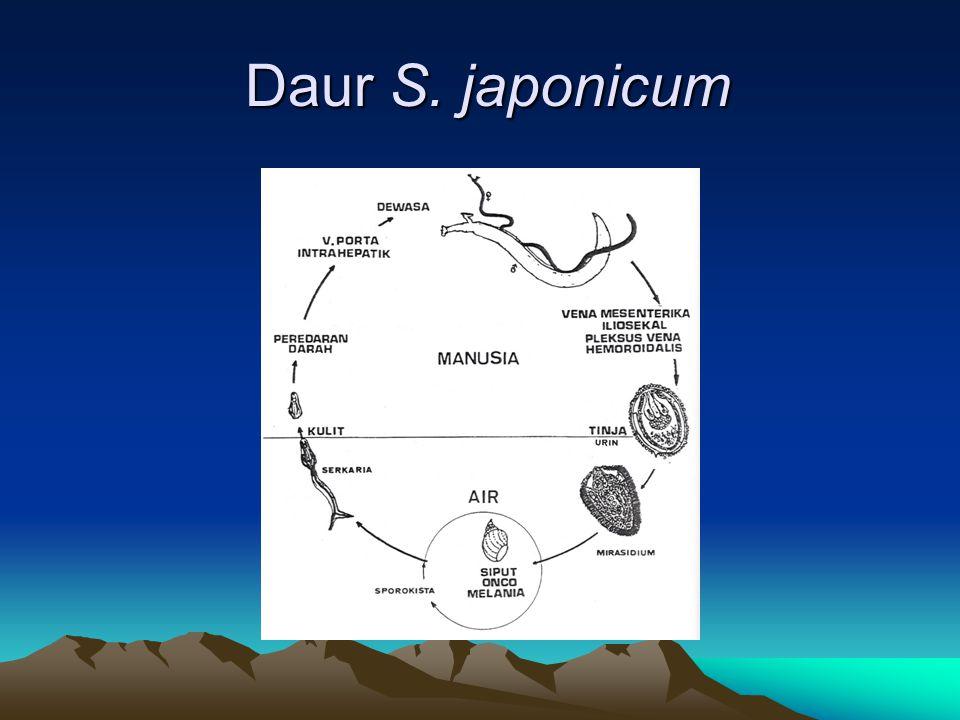 Daur S. japonicum Daur S. japonicum