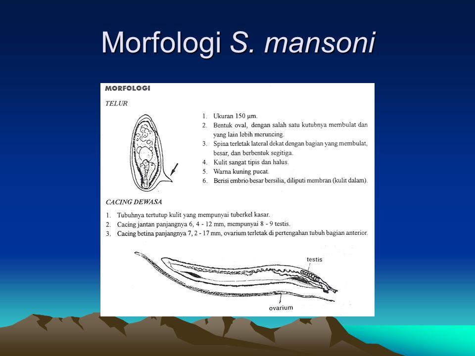 Morfologi S. mansoni