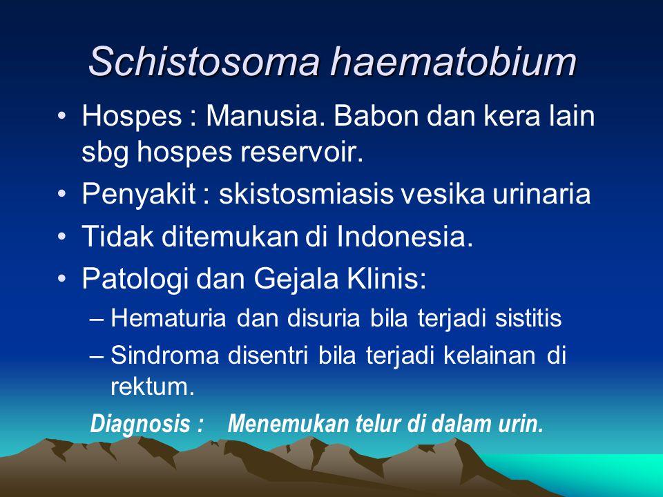 Schistosoma haematobium Hospes : Manusia. Babon dan kera lain sbg hospes reservoir. Penyakit : skistosmiasis vesika urinaria Tidak ditemukan di Indone