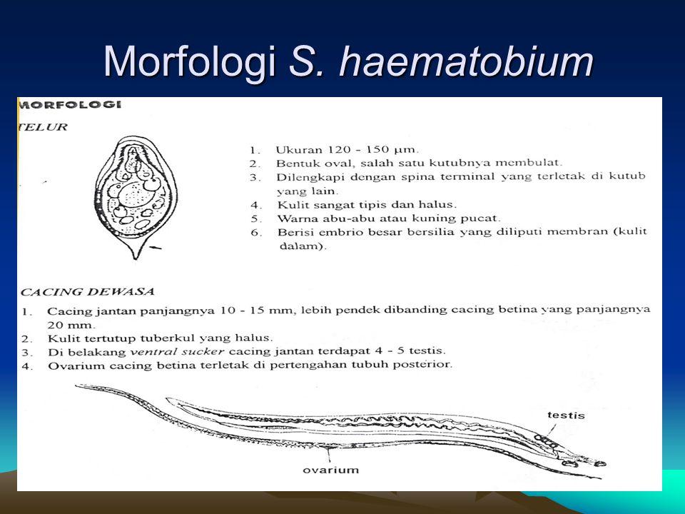 Morfologi S. haematobium Morfologi S. haematobium