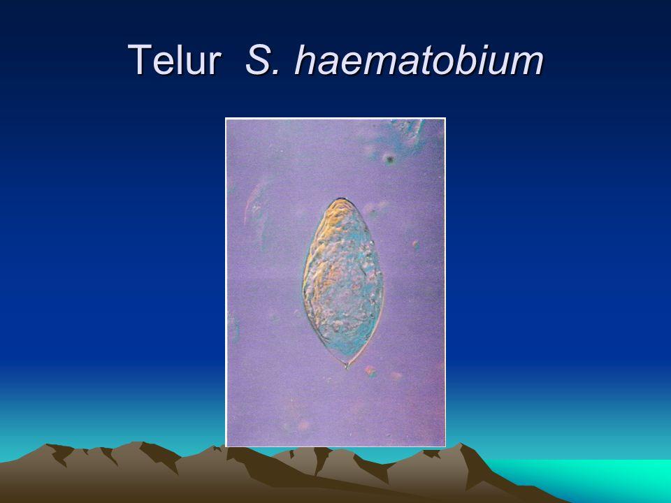 Telur S. haematobium