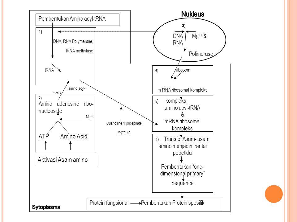 3) DNA Mg ++ & RNA Polimerase mRNA 1) DNA, RNA Polymerase, tRNA methylase tRNA amino acyl- tRNA 2) Amino adenosine ribo- nucleoside Mg ++ ATP Amino Ac