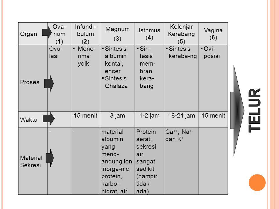 Organ Ova- rium (1) Infundi- bulum (2) Magnum (3) Isthmus (4) Kelenjar Kerabang (5) Vagina (6) Proses Ovu- lasi  Mene- rima yolk  Sintesis albumin k