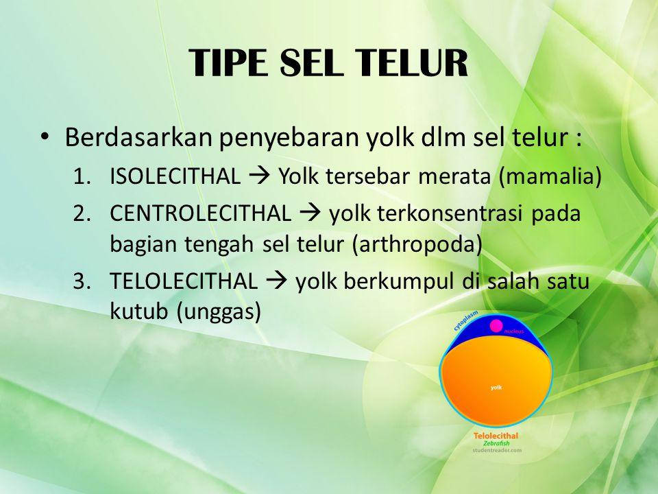 TIPE SEL TELUR Berdasarkan penyebaran yolk dlm sel telur : 1.ISOLECITHAL  Yolk tersebar merata (mamalia) 2.CENTROLECITHAL  yolk terkonsentrasi pada