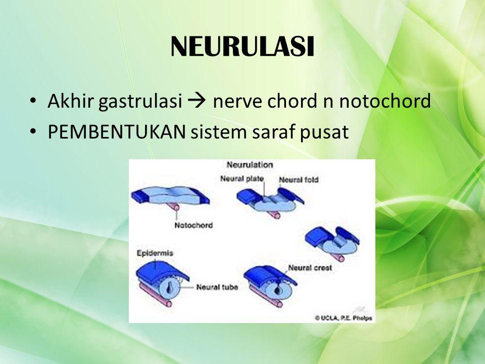 NEURULASI Akhir gastrulasi  nerve chord n notochord PEMBENTUKAN sistem saraf pusat