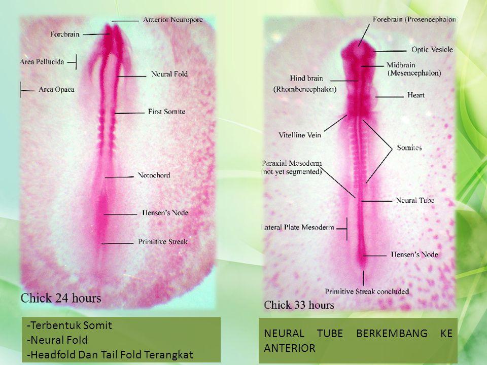 -Terbentuk Somit -Neural Fold -Headfold Dan Tail Fold Terangkat NEURAL TUBE BERKEMBANG KE ANTERIOR