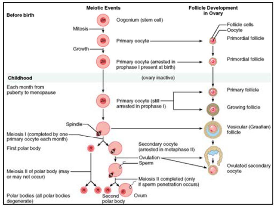 CLEAVAGE/PEMBELAHAN Tahap pertama setelah fertilisasi terjadi