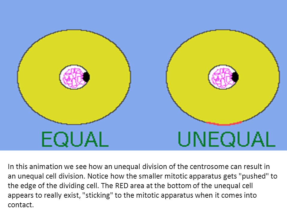 In this animation we see how an unequal division of the centrosome can result in an unequal cell division.