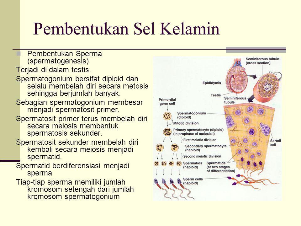 Pembentukan Sel Kelamin Pembentukan Sperma (spermatogenesis) Terjadi di dalam testis. Spermatogonium bersifat diploid dan selalu membelah diri secara